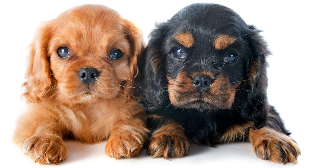 Our Family Cavaliers | Cavalier & Cavapoo Puppies